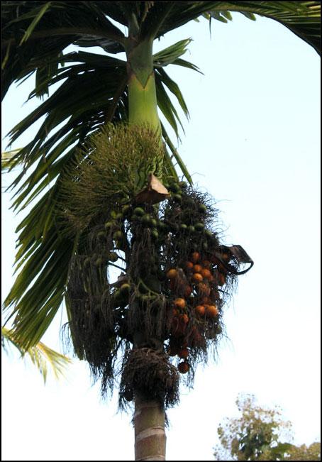 paakufruit